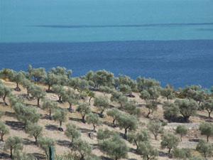 Ulivi a Mare a Mattinata nel Gargano