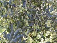 Olive del Lago di Garda